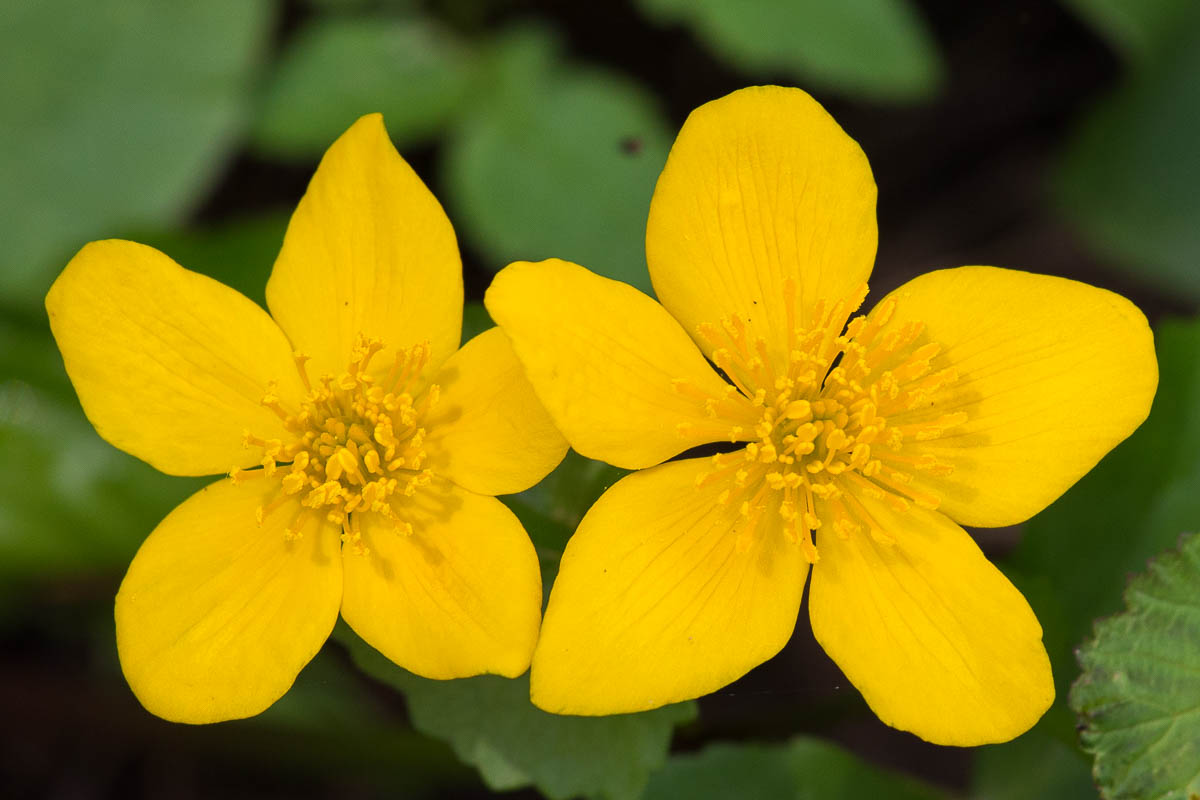 5 darab sárga virágszirom