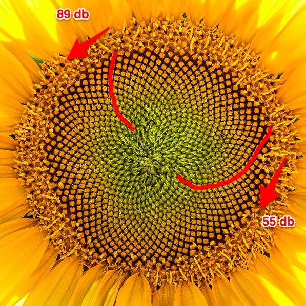 Napraforgó spirálok számai Fibonacci számok