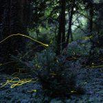 szentjános bogarak fotózása éjjel